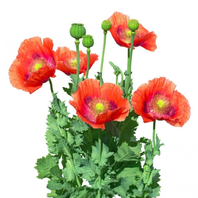 Poppy flowers and leaves